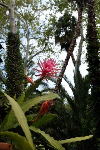 Pink Epiphyllum in Rainforest.