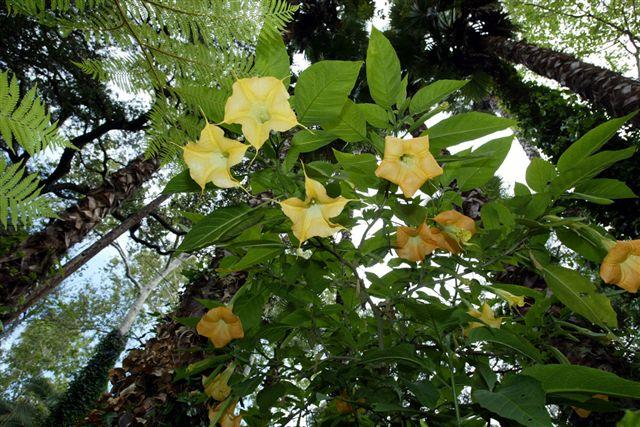 Yellow Datura in Rainforest.